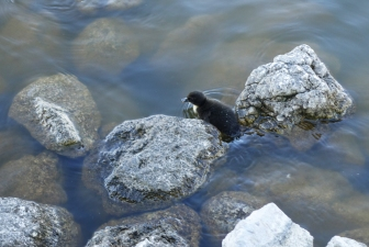 Duckling 13My16_00196