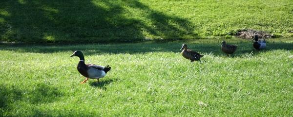 Ducks 13My16_00188