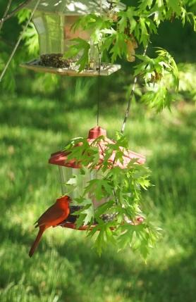 Cardinal Nvoo My17_DSC00470