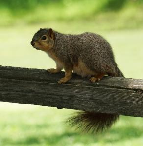 Squirrel Nvoo 9My17_00438