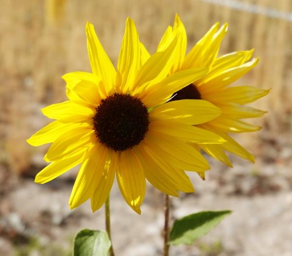 Sunflower Sep19 DSC01503